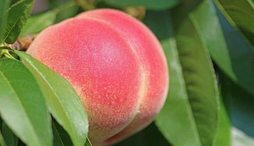 【ふるさと納税】『桃』が申し込める時期とおすすめ返礼品